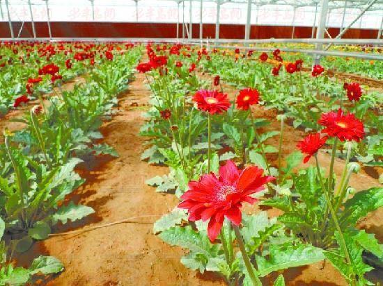 城阳玉皇花港鲜花大棚内的非洲菊和玫瑰含苞待放,期待游客前来采摘。