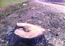 青岛即墨村委滥伐百棵树被立案调查