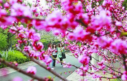 4月1日,游人在千佛山景区赏花观景。