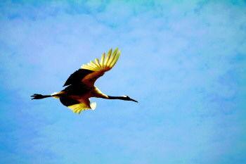 ▲山东三大候鸟基地之一的黄河口湿地是专属丹顶鹤的乐园,曾有一丝遐想,就像这只丹顶鹤一样,背负蓝天,沐浴金色的阳光,张开双翅自由翱翔。