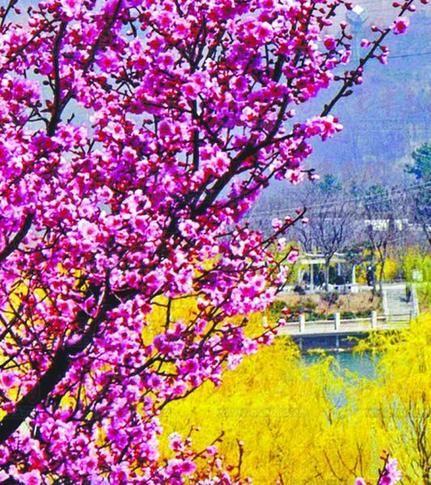 《争春》 吴佳琦 摄 本组图片由李沧区旅游局提供