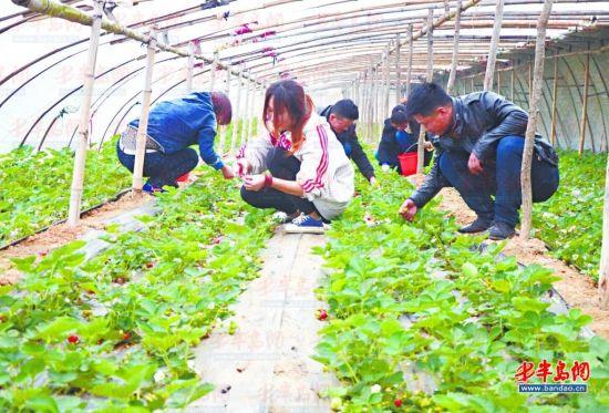洋河镇的一处草莓采摘园