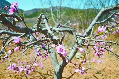 长清区马山镇的桃花开了。