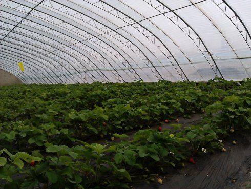 草莓生长的大棚,用的是现代农业的滴管技术。