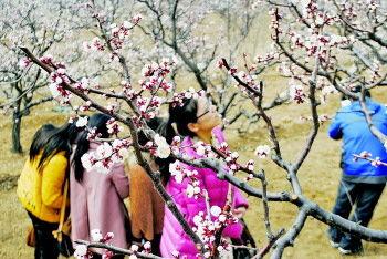 张夏杏花节