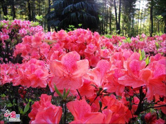 黄山风景区映山红花开山红遍
