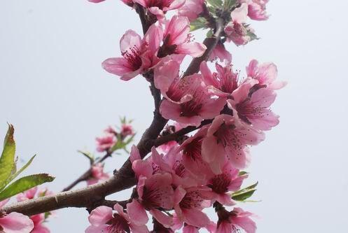 九仙山春花盛开