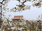 中华第一梨园春天梨花盛开堆雪铺玉