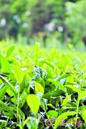 5月前是采春茶的最好时节