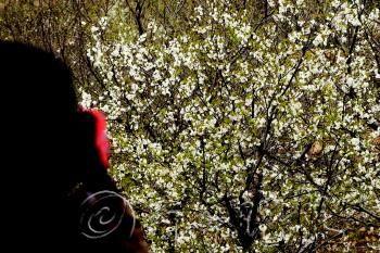 北宅樱桃花盛开