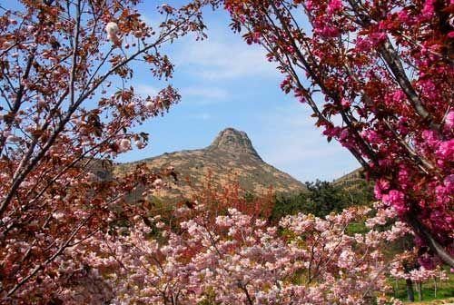 大乳山樱花盛开