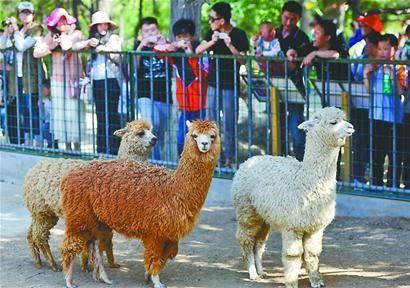 """济南动物园新引进的6只""""网络神兽""""——— 小羊驼与游人见面。 记者王锋 摄□本报记者 徐鹏"""