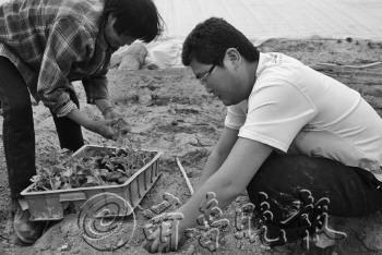侯磊在指导工人种植西瓜苗。