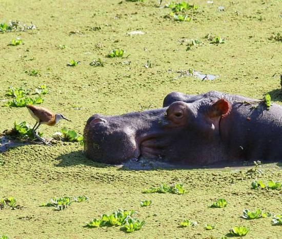 赞比亚 小鸟与沼泽中的河马