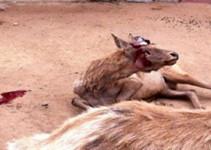 曝青岛动物园游客眼前割鹿茸