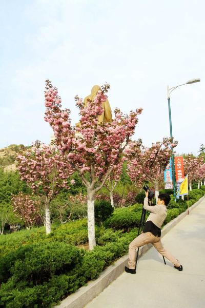 5月12日 威海赤山樱花盛开时 摄影师用相机留住樱花