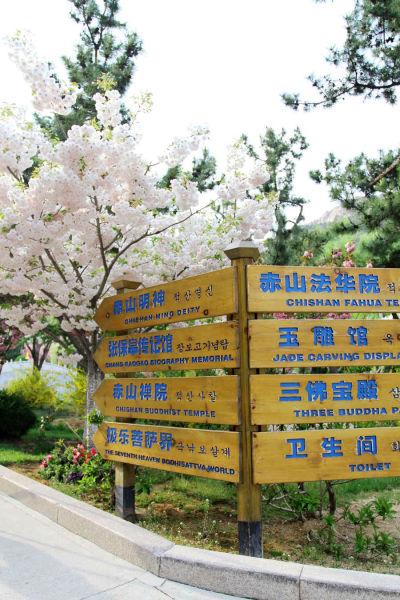 威海赤山樱花盛开 景区指示牌与樱花