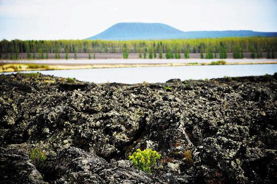 黑龙江五大连池风景区内一处熔岩上生长出小花 图/王建威