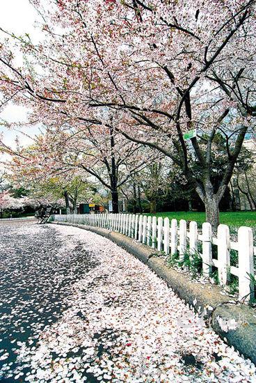 北方赏樱名所——青岛中山公园