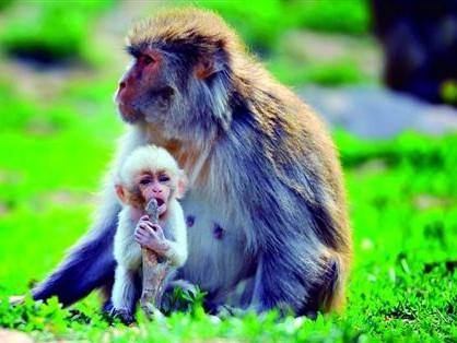 黄毛猕猴生白猴