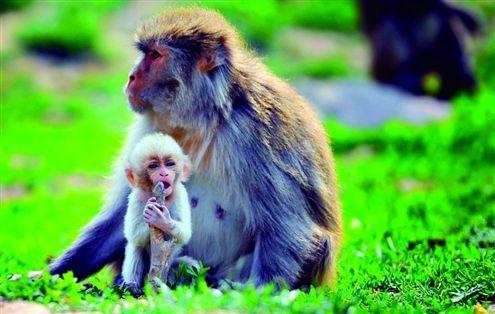 黄毛猕猴和它的白猴孩子
