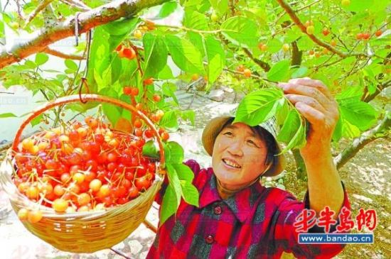 北宅社区,果农采摘成熟的樱桃。