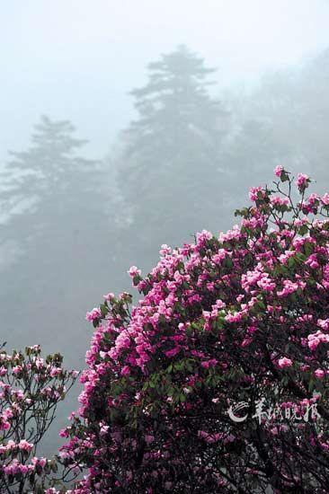 盛开在神农架神农顶景区的杜鹃花