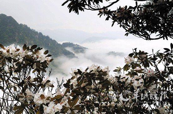 井冈山笔架山景区盛开的杜鹃花