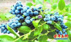 青岛蓝莓节