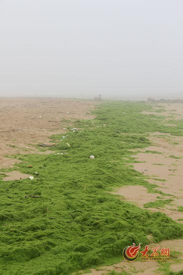 海滩上的浒苔