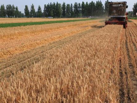 雨前收麦忙