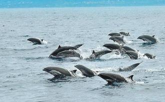 弗氏海豚群
