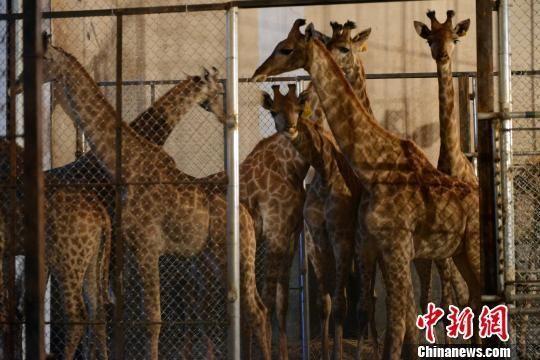 9只南非长颈鹿入住青岛森林野生动物世界