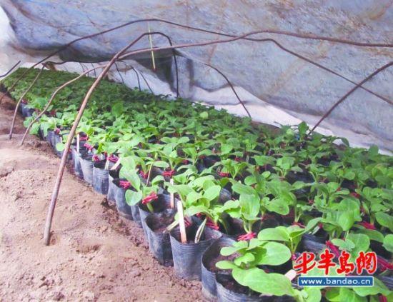 西瓜作为世界五大水果之一,中国西瓜年产量占世界的70%,也是全球西瓜人均消费量最大的国家。俗话说种瓜得瓜,但现在市面上销售的西瓜,超七成是嫁接在南瓜苗上的混血;青岛培育出小黑蜜新品种,明年将大规模种植近日,记者分赴田间地头和科研院所,探究西瓜的前世今生。   南瓜藤上结出大西瓜   24日下午,记者来到青岛农科院蔬菜研究所,该所负责人崔健所长正指导学生进行西瓜苗嫁接。崔健从事西甜瓜及瓜类砧木遗传育种研究,是农科院泰山学者科研骨干。   说到种西瓜,人们普遍会想起黑黑的西瓜子,但崔所长介绍,那