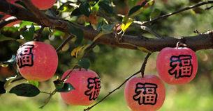 山东栖霞70万亩苹果成熟