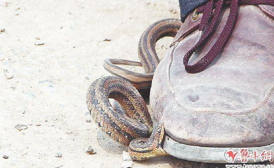 淄博一村庄惊现百条蛇