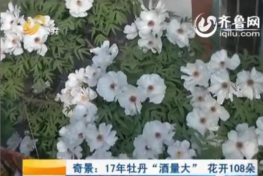 """许大哥家里的108朵""""大酒量""""白牡丹(视频截图)"""
