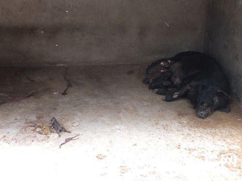 死去的野猪幼崽在笼内无人清理