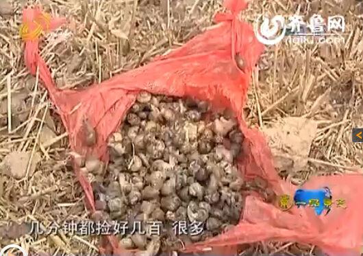 村民捡到的大量蜗牛