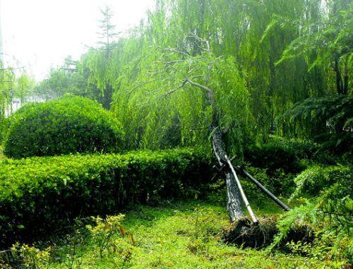小清河段板桥广场两岸绿化带中,移植的十余棵树木在急雨和阵发强风中倒地。本报记者 王兴飞 摄