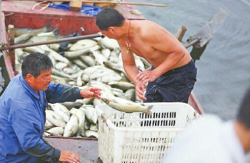 25日,村民将水库里的死鱼捞起准备掩埋。 记者李鹏飞 摄□本报记者 王倩