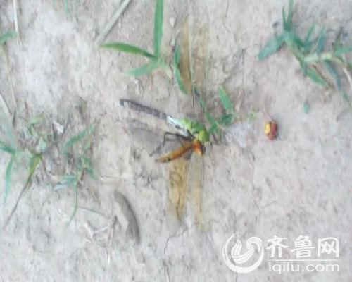 绿蜻蜓吃掉了黄蜻蜓