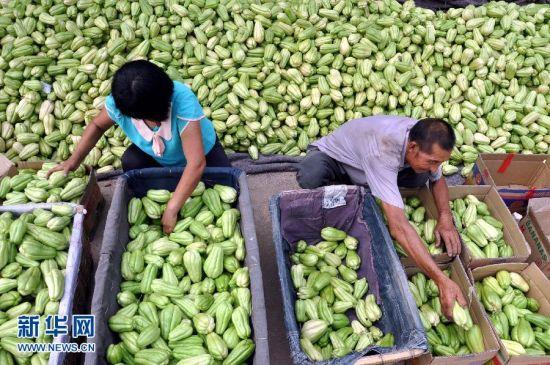 """8月11日,山东省沂源县南麻镇陡起峪村的农民在分拣准备外销的佛手瓜。立秋过后,山东省沂源县的秋季蔬菜陆续迎来收获期,农民们加紧采收,供应市场。近年来,山东省沂源县建立了以佛手瓜、茄子、韭菜等十几个品种为主的2万余亩秋季蔬菜种植基地。目前,基地蔬菜日上市量达100余万斤,丰富了各地市场的""""菜篮子"""",增加了当地农民收入。新华社发(赵东山 摄)"""