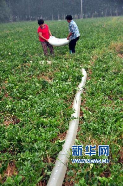 8月13日,山东省聊城市茌平县贾寨镇农民为种植的中药材北沙参浇水。新华社发(赵玉国 摄)