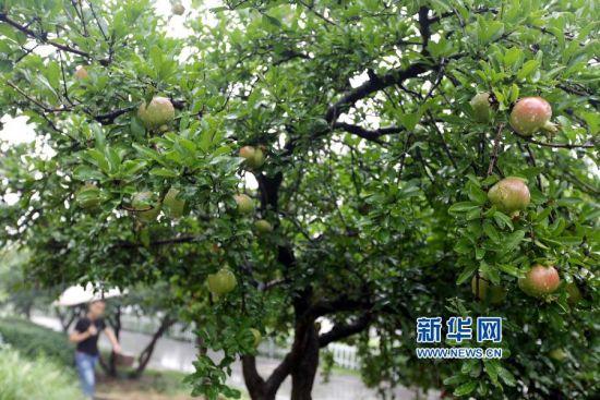 8月24日,游人在枣庄市石榴园欣赏石榴果。新华社发(孙中喆 摄)