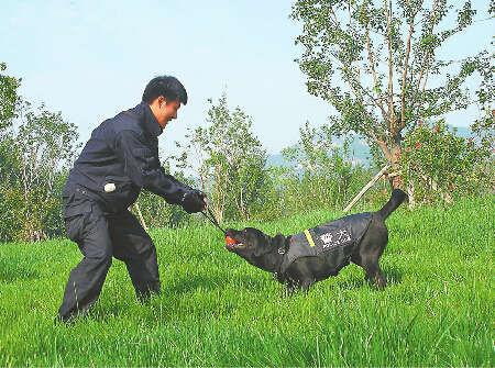"""民警正在训练的拉布拉多缉毒犬,是""""巡逻队""""6位""""成员""""之一。 通讯员 摄"""
