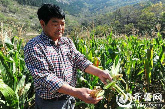 王明德随手掰了两个玉米让记者看,一个发了霉,另一个仅有四五粒。