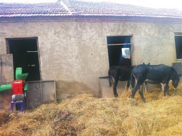 蓝翔技校挖掘机专业实习基地内饲养了一些驴。(刘有杰 张龙 摄)