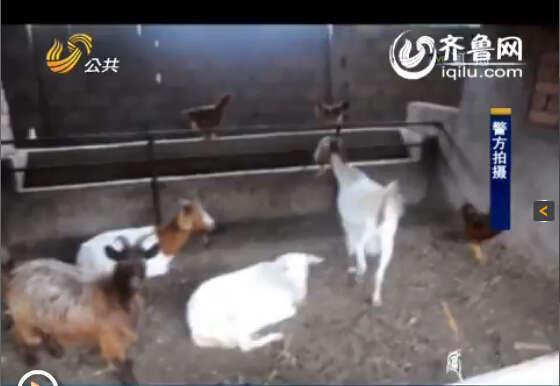 2013年下半年以来,民警接到多起群众报警称自家山羊、粮食被盗。(视频截图)
