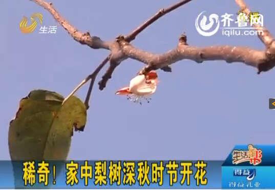 今天立冬,这棵梨树上却有花。